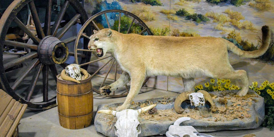 Wagon Museum mountain lion
